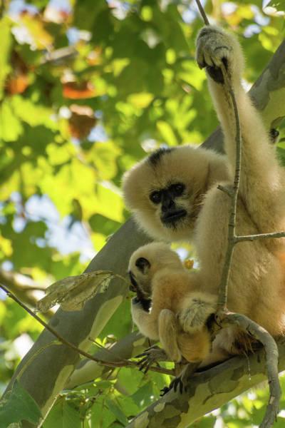 Mommy Gibbon Poster