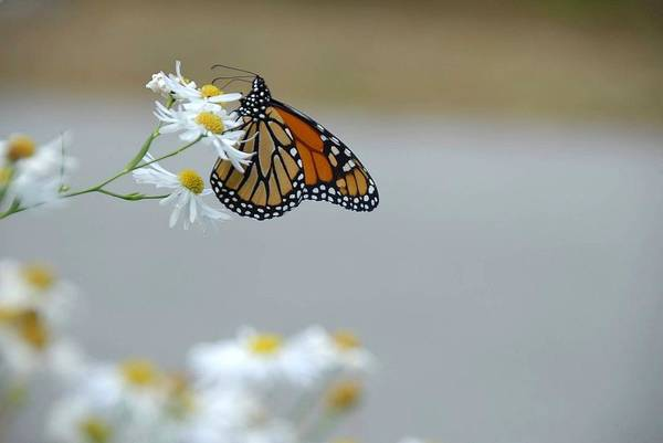 Poster featuring the photograph Monarch   by AnnaJanessa PhotoArt