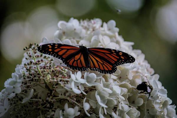 Monarch Butterfly Feeding On Hydrangea Tree Poster