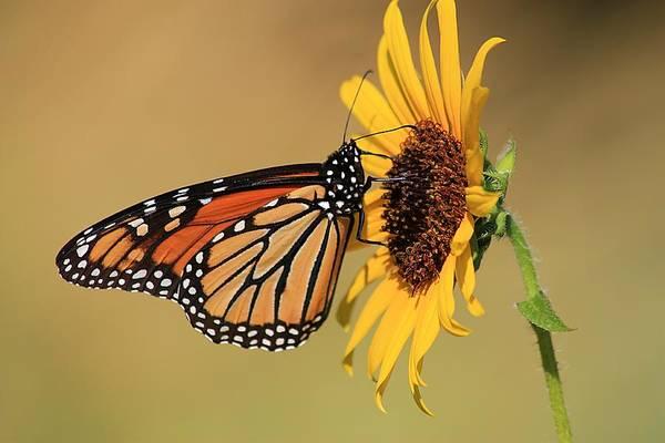 Monarch Butterfly On Sun Flower Poster