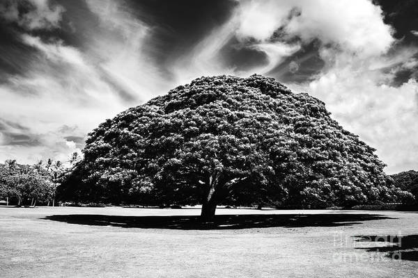 Monkey Pod Tree In Black And White Poster
