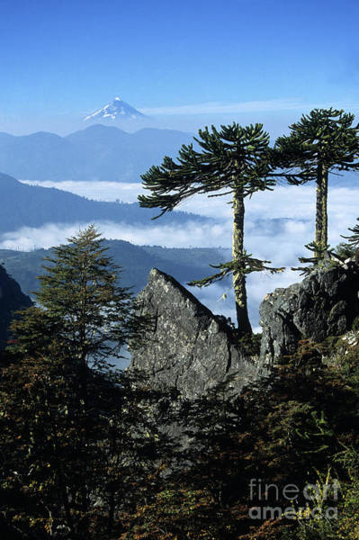 Monkey Puzzle Trees In Huerquehue National Park Poster