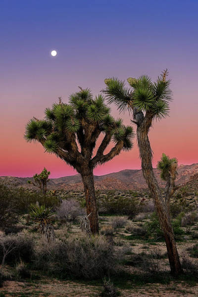 Moon Over Joshua Tree Poster
