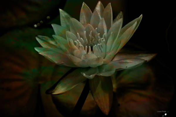 Moonlit Water Lily Poster