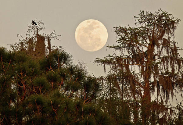 Moonrise Over Southern Pines Poster