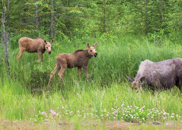 Moose Family Poster