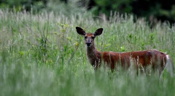 Morninng Deer Poster
