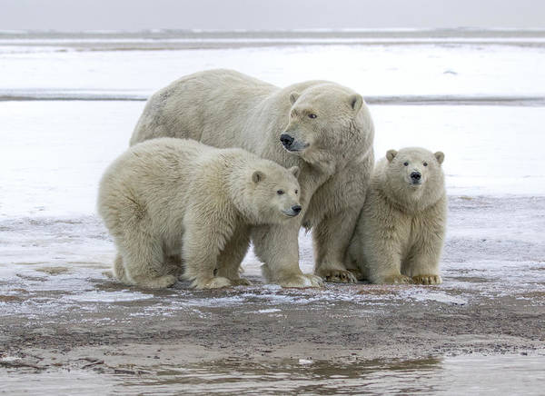 Mother And Cubs In The Arctic Poster