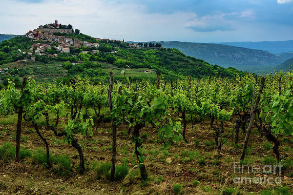 Motovun And Vineyards - Istrian Hill Town, Croatia Poster