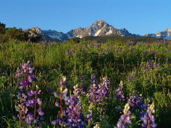 Mount Sneffels Colorado Wildflowers Poster
