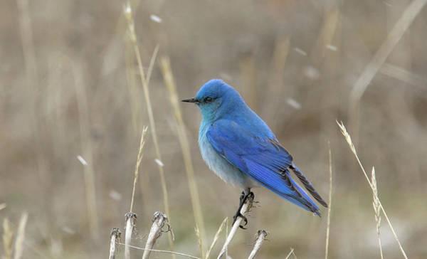 Mountain Blue Bird Poster