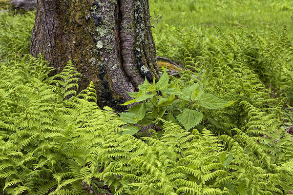 Mountain Green Ferns Poster