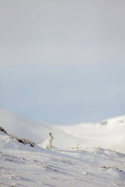 Mountain Hare On Hillside Poster