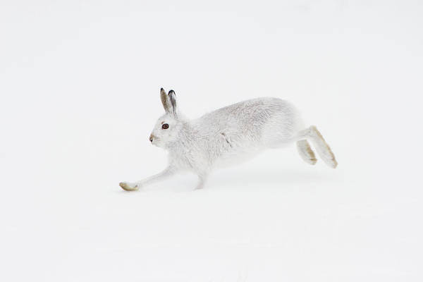 Mountain Hare Running Poster