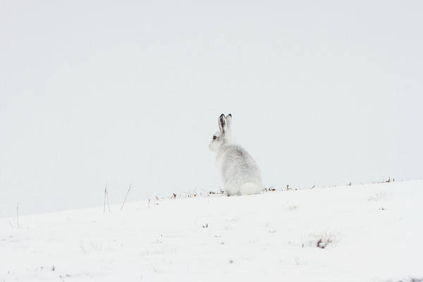 Mountain Hare Sat In Snow Poster