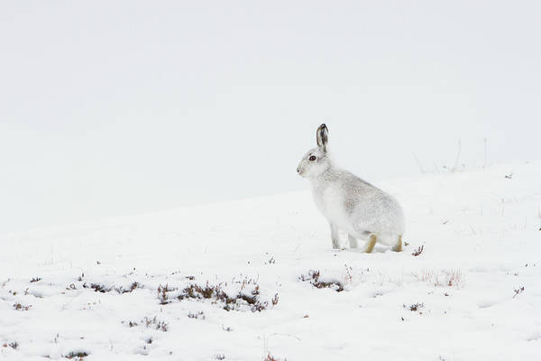 Mountain Hare Side On Poster