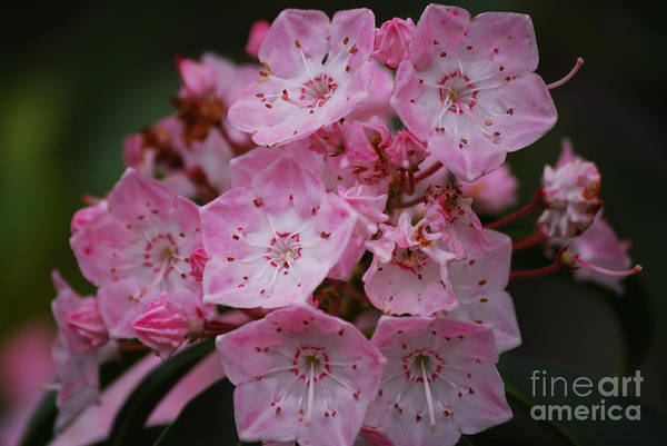 Mountain Laurel Bloom Poster