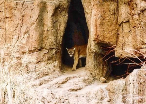 Mountain Lion In The Desert Poster