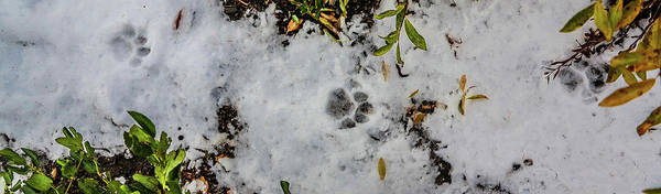 Mountain Lion Tracks In Snow Poster
