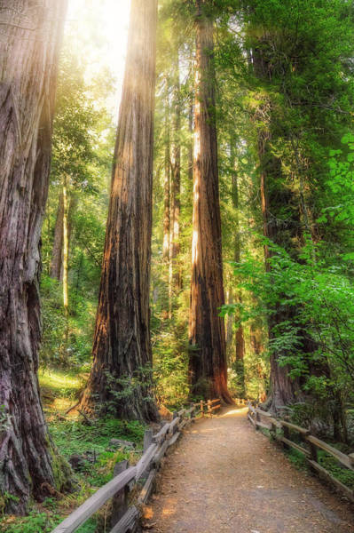 Muir Woods Forest Path And Redwood Trees Poster
