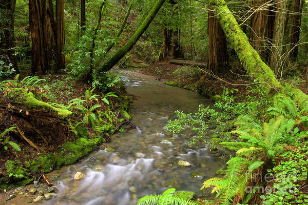 Muir Woods Stream Poster