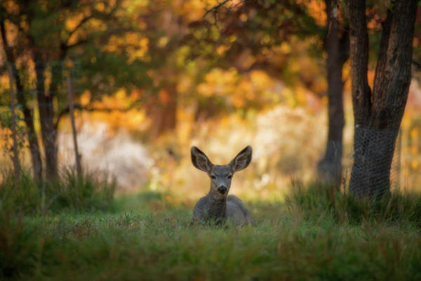 Mule Deer In Apple Orchard Poster