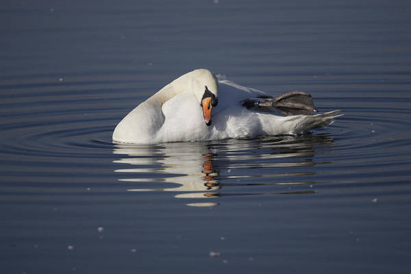 Mute Swan Resting In Rippling Water Poster