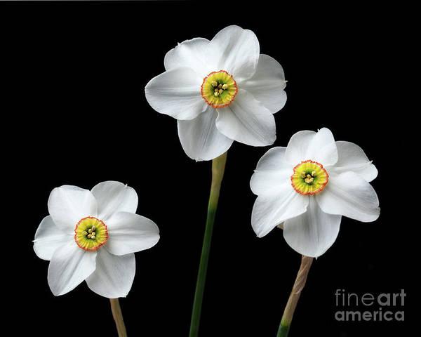 Narcissus 'poeticus' Poster