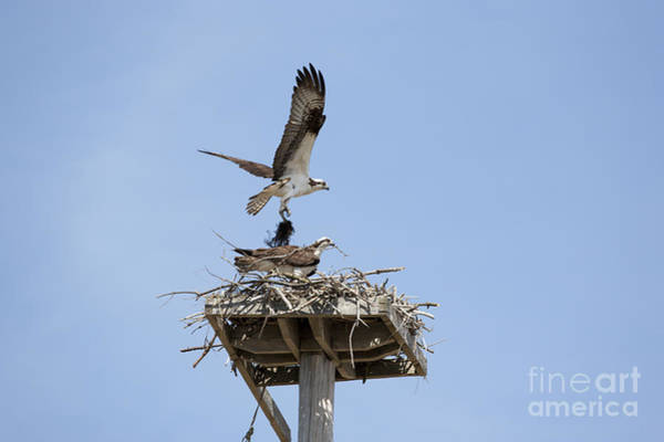 Nesting Osprey In New England Poster