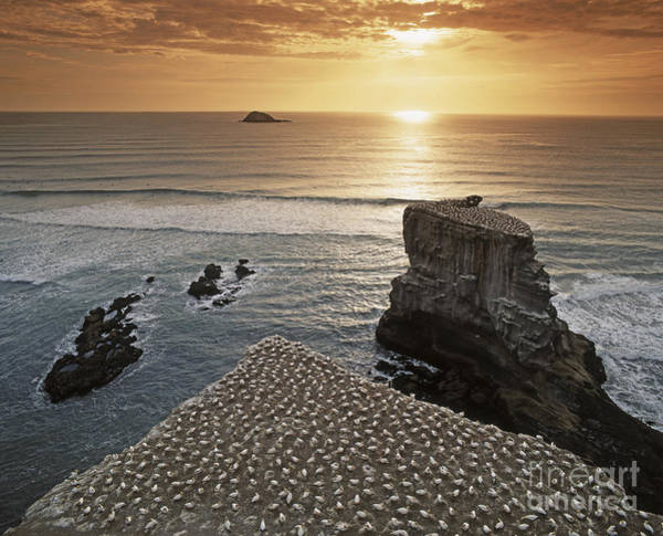 Poster featuring the photograph new zealand gannet colony at muriwai beach ,gannet fly from Muri by Juergen Held