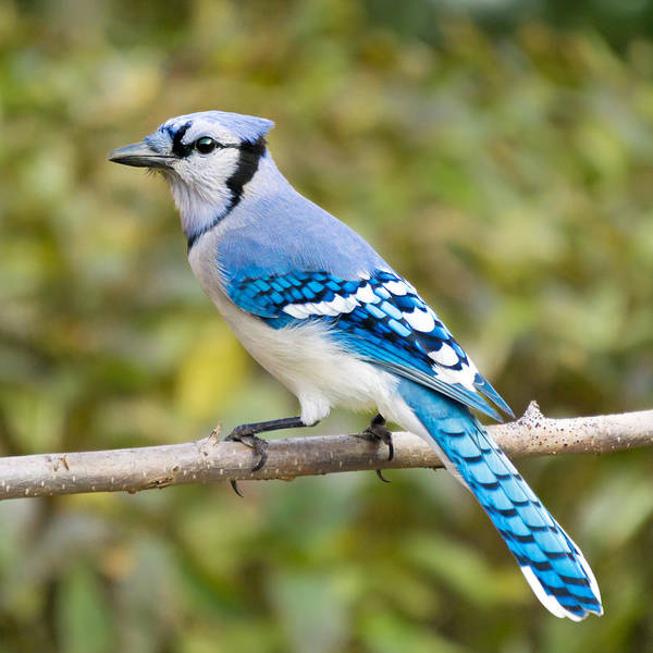 North American Blue Jay Poster