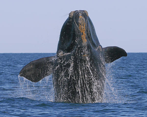 North Atlantic Right Whale Breaching Poster