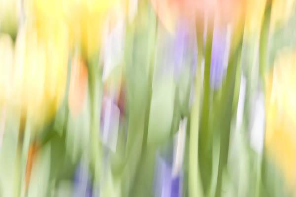 North Hills Tulips II Poster
