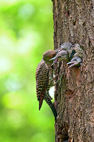 Northern Flicker Family Poster