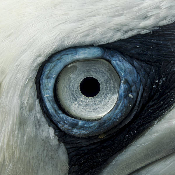 Northern Gannet Eye Poster