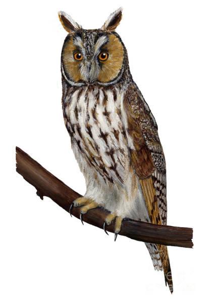 Northern Long-eared Owl Asio Otus - Hibou Moyen-duc - Buho Chico - Hornuggla - Nationalpark Eifel Poster