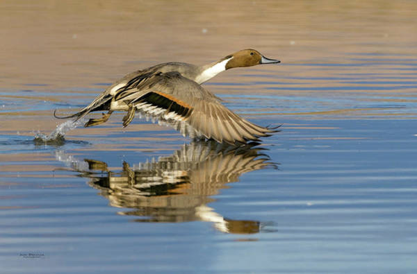Northern Pintail With Reflection Poster