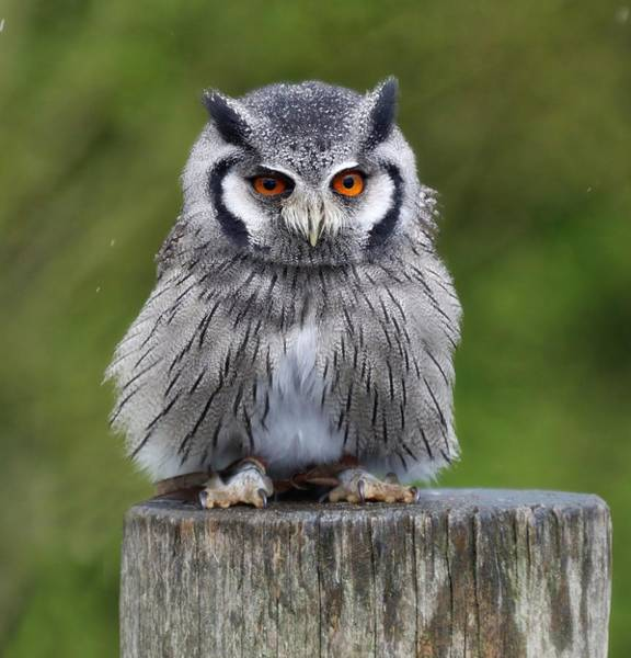 Northern White Faced Owl Poster