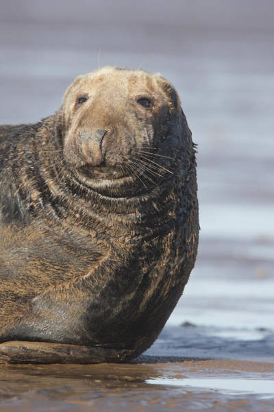 Old Atlantic Grey Seal On The Beach Poster