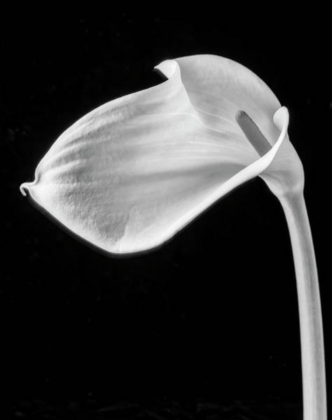 One Beautiful Calla Lily In Black And White Poster