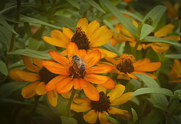 Orange Flowers And Bee Poster