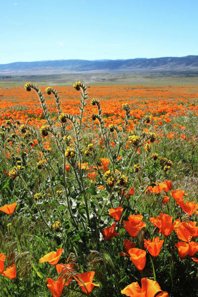 Orange Poppies And Fiddleneck- Art By Linda Woods Poster