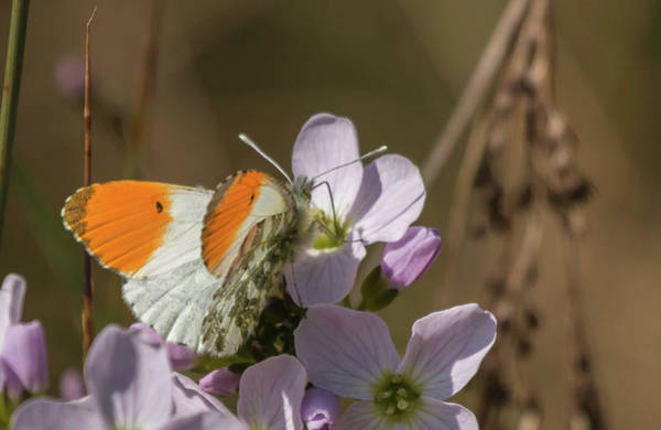 Orange Tip On Lady's Mantle Poster