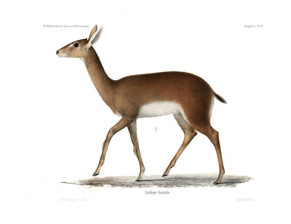 Poster featuring the drawing Oribi, A Small African Antelope by J D L Franz Wagner