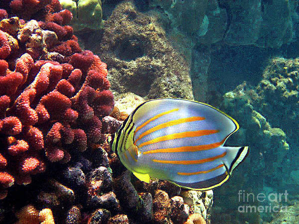 Ornate Butterflyfish On The Reef Poster