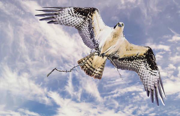 Osprey Building Nest Poster