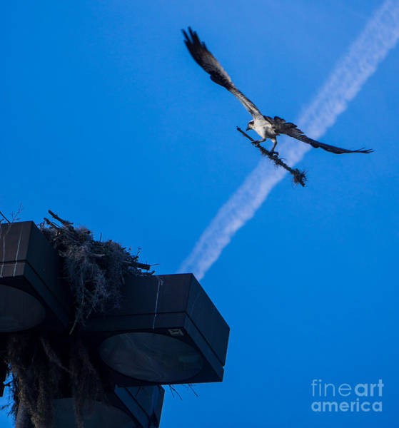Osprey Carrying Stick To Nest Poster