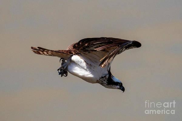Osprey Dive Poster
