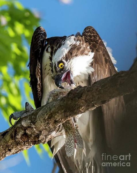 Osprey With Prey Poster