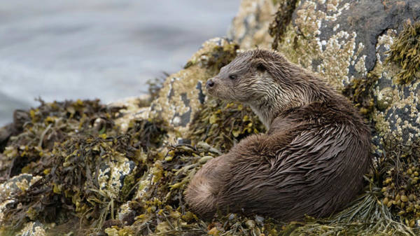 Otter Relaxing On Rocks Poster